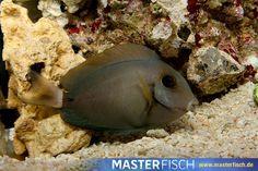 Augenfleck Doktorfisch Bariene - MasterFisch Fish, Pets, Animals, Types Of Animals, Indian, Animales, Animaux, Pisces, Animal