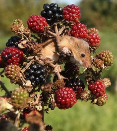 Autumn Mouse Hedge Britannia by Hugh Barker Woodland Creatures, Woodland Animals, Garden Hedges, Animal Magic, British Wildlife, Animal Sketches, Cute Animal Pictures, Flora And Fauna, Beautiful Creatures