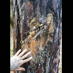 An old territorial bear marking. One swipe with is claws marks the tree. If a bigger bear comes around it swipes higher.  A who's bear dick is bigger contest. Lol boys will be boys... let's go find one to cuddle!!!