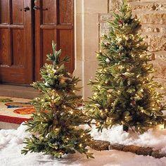 Miniature outdoor christmas trees!