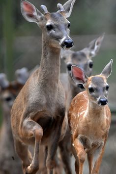 White-tailed deers are pictured at 'Rosy Walter' zoo, on El Picacho hill in northern Tegucigalpa. (AFP Photo)