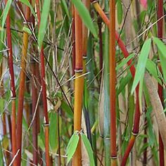 Buy umbrella bamboo Fargesia Red Panda ('Jiu') - An excellent choice for hedging: 5 litre pot: Delivery by Crocus