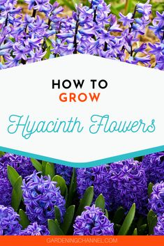 Don't miss these flower gardening tips to grow hyacinths. Learn when to plant hyacinth bulbs including how to force hyacinths indoors. Hyacinth Plant, Hyacinth Flowers, Rare Flowers, Bulb Flowers, Beautiful Flowers, Orchid Planters, Flower Planters, Flower Gardening, Gardening Tips