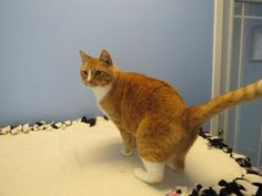 Meet Samba, a Petfinder adoptable Domestic Short Hair - orange and white Cat | Northfield, MN | Samba is a quiet boy who came to us when his owner found out they where allergic to him. He would...