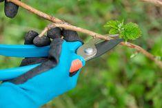 Jak zvýšit úrodu malin: Klíčový je řez ve správnou dobu Pruning Shears, Garden Tools, Gardening Scissors, Yard Tools