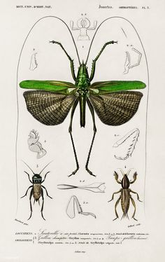 Grasshopper of six points (Locusta sexpunctata) illustrated by Charles Dessalines D' Orbigny (1806-1876). Digitally enhanced from our own 1892 edition of Dictionnaire Universel D'histoire Naturelle.