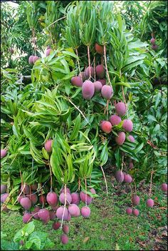 Red mangoes on tree