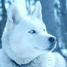 If you love dogs and are especially fond of huskies, you must have wondered sometime or the other regarding differences between Alaskan husky and Siberian husky. Here is all you need to know about what makes the two different from each other. After going through these differences, you can decide which of the two will be ideal for you.