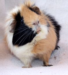 nice one  …. Daily Cutest Posts, Follow Me For More Posts,  Best Pictures Fo #GUINEAPIG #GUINEA #PIG , ,    #designer And #creator Of #clothing, Accessories And #product For #man   #woman   #kids   #baby   #pet #animals.   #shoes #accessories #mug #case #necklace #tshirt #hoodie #sweatshirt