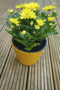 Mum Plant Repotting: Can You Repot A Chrysanthemum. What can you do when your mum flowers die...