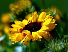 Free desktop sunflower wallpaper (Alden Walter 3380x2592)