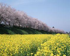 """埼玉県幸手市の取って置きの名所「権現堂桜堤」。3月28日(土)から4月12日(日)まで開催される「幸手桜まつり」の会場です。  堤に1kmに渡り植えられたおよそ1000本のソメイヨシノと土手に広がる無数の菜の花は、権現堂を関東屈指の観桜場とし、例年70万人以上の人々を集める観光地にまで押し上げました。両サイドに桜が咲く堤の上はまさに""""桜のトンネル""""で、「どこよりも贅沢な桜吹雪に出会える」と評判を呼んでいます。"""