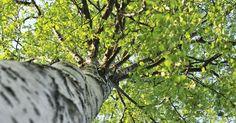 Die Birke ist als Gartenbaum beliebt, ökologisch wertvoll und vielseitig nutzbar. Mit ihrem hellen Stamm und der grazilen Wuchsform faszinierte sie schon unsere Vorfahren.