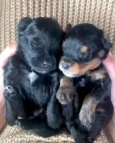 Cute Baby Animals, Funny Animals, Mini Bernedoodle, Doodles, Funny Animal Videos, Cuddling, Fur Babies, Cute Dogs, Diy Projects