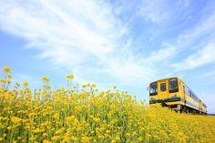 いすみ鉄道 菜の花列車 Izumi Line, Nanohana Train