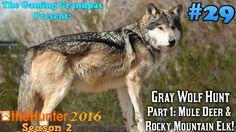 Gray Wolf Hunt - Part 1: Mule Deer & Rocky Mountain Elk! - theHunter (2016)