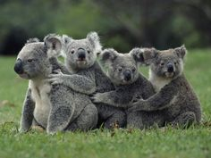 Four koalas hugging each other in a row on the ground.