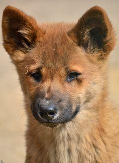 Dingo pup (Australia)
