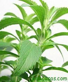 Aprende a cultivar Stevia la planta que puede curar la diabetes - Ecocosas