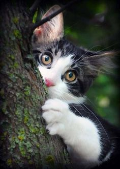 Look at those eyes ❤ – Cats Cute Cats And Dogs, Cats And Kittens, Cats Meowing, Kitty Cats, Save Animals, Animals And Pets, Types Of Cats, Bengal Kitten, Foster Kittens