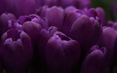 Purple tulip wallpapers Purple tulip stock photos