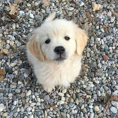 Golden retriever puppy What about a kiss for me? Cute Dogs And Puppies, Baby Dogs, I Love Dogs, Doggies, Adorable Puppies, Animals And Pets, Funny Animals, Retriever Puppy, Cute Little Animals