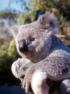 Checking out the scenery - Koala Funny - Funny Koala meme - - Checking out the scenery Koala Funny Checking out the scenery The post Checking out the scenery appeared first on Gag Dad. The post Checking out the scenery appeared first on Gag Dad. Animals And Pets, Baby Animals, Funny Animals, Cute Animals, Baby Giraffes, Animal Memes, Koala Meme, Funny Koala, The Wombats
