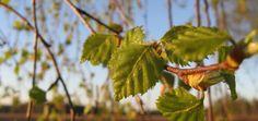 bylinky na odvodnění organismu Nordic Interior, Korn, Detox, Fruit, Healthy, Plants, Ideas, Medicine, Plant