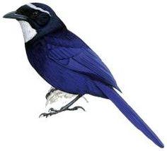 Silvery-throated Jay Cyanolyca argentigula - Google Search