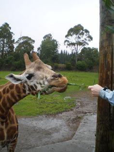 feeding the giraffes at Orana Wildlife Park in NZ
