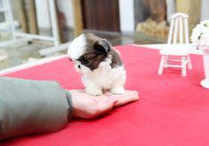 teacup+shih+ttzus | Precious Teacup Shih Tzu Puppy | Flickr - Photo Sharing!