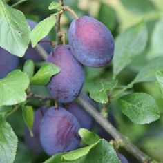 Buy plum Czar plum Czar - An easy to grow purple plum: (bush): Delivery by Crocus