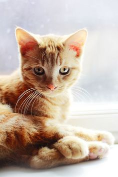 A pretty orange tabby cat! Cute Cats And Kittens, Cool Cats, Kittens Cutest, Pretty Cats, Beautiful Cats, Pretty Kitty, Baby Animals, Cute Animals, Orange Tabby Cats