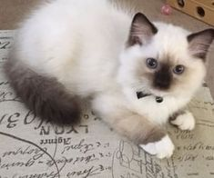Ragdoll Kittens For Sale, Kittens And Puppies, Cute Cats And Kittens, Kittens Cutest, Tabby Cats, Siamese Cats, Funny Kittens, Bengal Cats, White Kittens