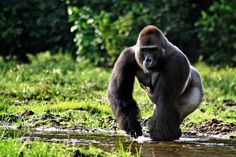 Lowland Gorilla  Found in central Africa, the lowland gorilla has been all but wiped out in recent years, thanks to widespread hunting — the meat is an expensive delicacy — and disease, including from the Ebola virus. Rapid deforestation is also destroying their habitat.