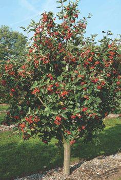 SORBUS intermedia (EHRH.) PERS., Schwedische Mehlbeere, Oxelbeere | Pflanzen | null | Bruns-Website