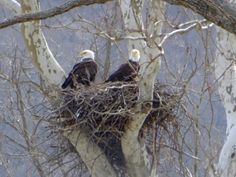 I finally got a photo of both parents on the nest. I will be watching for babies now! This an established eagle's nest on the Ohio River in Brown County Ohio. Wings Like Eagles, Isaiah 40 31, Eagle Nest, Birds Of Prey, Great Love, Wild Birds, Bird Feathers, Beautiful Birds, Brown County