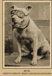 Bud, the pit bull who accompanied Dr. Horatio Nelson Jackson and Sewall K. Crocker on the first cross-country road trip in 1903.