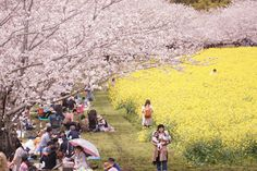 That time when sakura and canola bloom in the beautiful spring