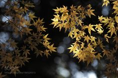 Yellow leaves in Rikugien by piewsan