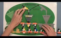MIT has some amazing resources for using their LEGO kits to teach Molecular Biology Learning Labs. For more information visit  http://mindandhand.mit.edu/educators/curriculum-packages/lego-dna.shtml