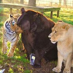 A lion, tiger and a bear all live together :)  This is unbelievable, click here: http://www.wimp.com/livetogether/