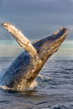 Sea animals - a humpback whale jumping out of the water on his back. Underwater Creatures, Underwater Life, Ocean Creatures, Orcas, Photo Animaliere, Water Animals, Wild Animals, Humpback Whale, Whales