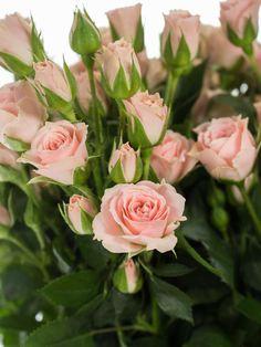 Verzweigte Rosen haben durch ihre kleine Blüten einen besonders niedlichen Charme. Die Sorte Lydia hat einen zarten Rosé-Ton und wirkt sehr edel. …