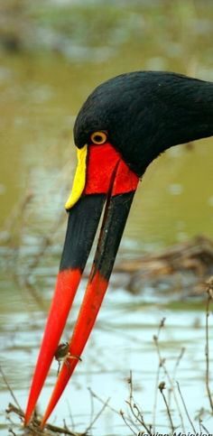 Saddle-billed Stork (Ephippiorhynchus senegalensis) with crab lunch.