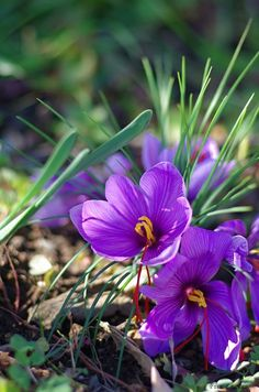 Crocus in grass Beautiful Flower Quotes, Amazing Flowers, Purple Flowers, Beautiful Flowers, Saffron Crocus, Saffron Flower, Garden Bird Feeders, Green Orchid, Purple Garden
