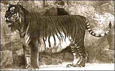 The Caspian tiger was a Panthera tigris tigris population. This population was assessed as extinct in Some Caspian tiger individuals were intermediate in size between Siberian and Bengal tigers. Extinct Tigers, Extinct And Endangered Animals, Endangered Species, Mammals, Javan Tiger, Bengal Tiger, Tiger Year, Tiger Fish, Berlin