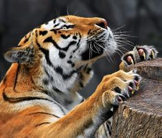 I love tigers. So beautiful. They are cats too but bigger. The Incensewoman