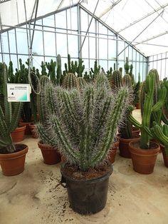 #cacti #cactus #grower #Ubink; Available at www.barendsen.nl
