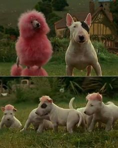 Bull Terrier Love: Photo